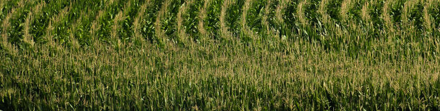 Corn Field Banner Stock Photos