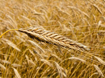 Corn field with barley spike Royalty Free Stock Photography