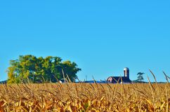 Corn field with a barn and tree. Large corn field with a tree, barn, and silo in the background Royalty Free Stock Images