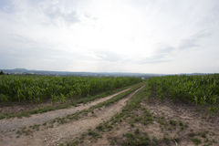Corn field bayreuth. A cornfield in Bayreuth in the summer Royalty Free Stock Photo