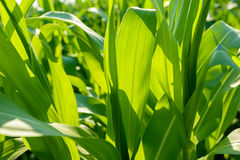 Corn field big leafs foliage Royalty Free Stock Images