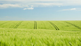 Wheat field and blue cloudy sky landscape. Wheat field with tracks and blue cloudy sky landscape Royalty Free Stock Photography