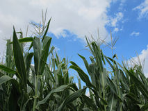Corn Field and Blue, Partly Cloudy Sky Stock Photo