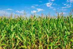 Corn field with blue skies. Organic agriculture green leaf. Green nature farming. Farm land in summer. Plant growth. Farming scene. Outdoor landscape of crop royalty free stock images