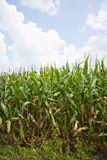 Corn field and blue sky Royalty Free Stock Photos