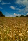 Corn field and blue sky. Landscape of a wheat field with a beautiful blue sky above it Stock Photos