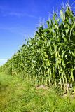 Corn field and blue sky Stock Photo