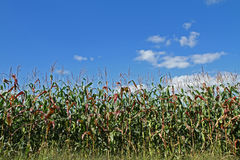 Corn Field with Blue Sky Royalty Free Stock Images