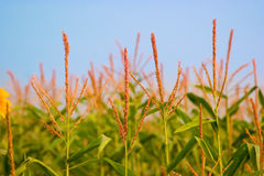 Corn field with blue sky Royalty Free Stock Photo