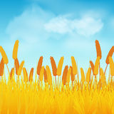 Corn field and blue sky. Corn field against a Blue Sky with Fluffy Clouds Stock Photos