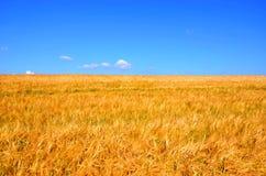 Corn field. On blue sky background Stock Image