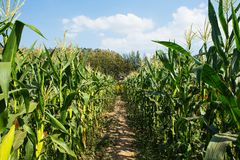 Corn field on blue sky. Royalty Free Stock Image