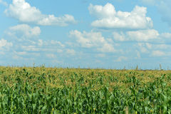 Corn field and blue sky Stock Photos