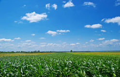 Corn Field And Blue Sky. With clouds Royalty Free Stock Photography