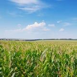 Corn field and blue sky Stock Photos