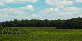 Corn Field-Blue Sky Royalty Free Stock Photography