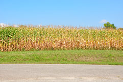 Corn field and blue sky. Partially dried corn field with pavement and grass in front and a blue sky in the background Royalty Free Stock Image