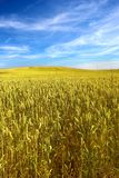 Corn field - blue sky summer Royalty Free Stock Photos