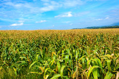 Corn field with blue sky Stock Images