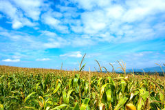 Corn field with blue sky Royalty Free Stock Image