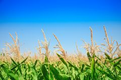 Corn field against the blue sky close up. Royalty Free Stock Photo