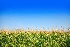 Corn field against the blue sky. Stock Image