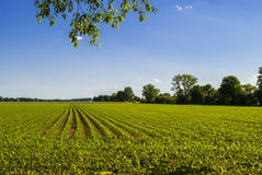 Corn Field 2 Royalty Free Stock Image