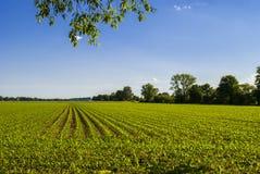 Corn Field 2. Corn field - bright sunny day - horizon Royalty Free Stock Image