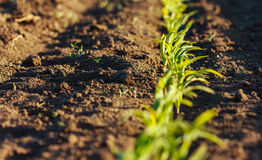 Corn field in brown soil at sunset Stock Photo