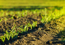 Corn field in brown soil at sunset Stock Photos