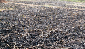 Corn field burn. After harvest in Thailand Stock Images