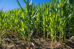 Corn field in Catalonia Royalty Free Stock Images