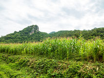 Corn field, Chiang Mai Royalty Free Stock Image