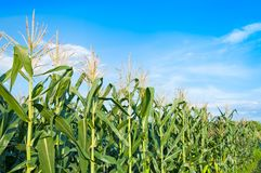 Corn field in clear day. Corn tree at farm land with blue cloudy Sky royalty free stock photography