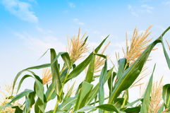 Corn field in a clear day, corn tree with blue cloudy Sky Stock Image