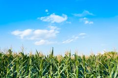 Corn field in clear day, Corn tree at farm land. With blue cloudy Sky royalty free stock photos