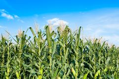 Corn field in clear day, Corn tree at farm land. With blue cloudy Sky royalty free stock images