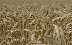 Corn field close-up Stock Photos