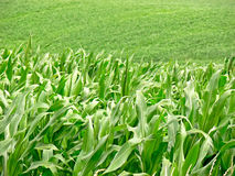 Corn field - close up. Details of the green corn's letters on the field Stock Photography