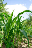 Corn field close-up. Green Corn field close-up with a blue sky shot with wide angle lens Royalty Free Stock Image