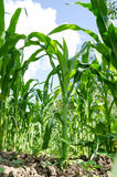 Corn field close-up. Green Corn field close-up with a blue sky shot with wide angle lens Royalty Free Stock Images