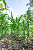 Corn field close-up. Green Corn field close-up with a blue sky shot with wide angle lens stock images