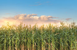 Corn Field. Close up on a sunset Royalty Free Stock Photos
