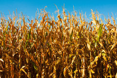 Corn field closeup with with blue background and gold plants. Stock Photos