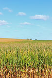 Corn Field. A closeup of a cornfield at the end of summer with a bright blue sky stock photography