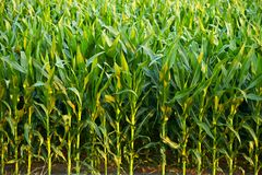 Corn Field. Closeup. Few Weeks Old Corn. Agriculture Collection Stock Image