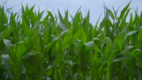 Corn field closeup. Panning on corn field. Corn stalks swaying in wind stock video footage