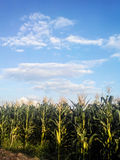 Corn field with clouds in asia Stock Photo