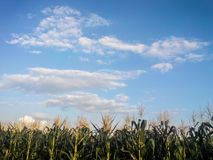 Corn field with clouds in asia Royalty Free Stock Photo