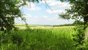 Corn field and clouds in the blue sky. stock footage